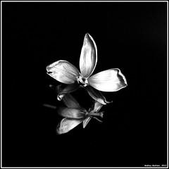 Tulip. Bronica-S2, AGFAPAN 400, exp:1992. (Andrey Maltsev) Tags: old flowers bw 120 6x6 film canon tulips iso400 scan 120film bronica tulip scanned 1992 agfa expiredfilm bwfilm middleformat 8800 blackandwhitefilm bronicas2 redamaryllis agfapan400 tulipen agfapan canon8800f