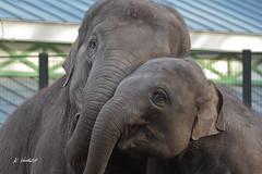 Aziatische olifanten ARTISZOO (K.Verhulst) Tags: amsterdam elephants nl artis olifant artiszoo olifanten aziatischeolifant asiaticelephants