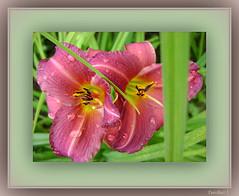 Small 3D effect. (tarelkaz1) Tags: pink flowers summer two green garden leaf flora memories daylily topshots flickraward flowersarebeautiful excellentsflowers natureselegantshots naturethroughthelens sonydscs730 theoriginalgoldseal mygearandme