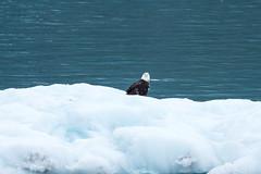 _MG_4529a (markbyzewski) Tags: bird alaska ugly iceberg glacierbaynationalpark