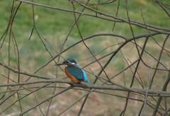 Auf der Lauer, NGID1036822609 (naturgucker.de) Tags: alcedoatthis eisvogel naturguckerde cklausbittner 915119198 11941622 2103244470 ngid1036822609