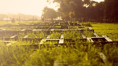 Green Grass & Golden Sunset