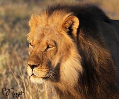 """Lion """"His Majesty"""" (girlslens) Tags: africa lion botswana kalahari"""