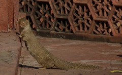 Indian gray mongoose on the grounds of the Taj Mahal in Agra