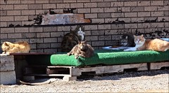 The Fattest Rogue Cats I've Ever Seen: Being Well Fed (Sue90ca Back To Work & Lots Of Outdoor Chores) Tags: cats canon many 5 kitty rogue 70300mm erieau 60d