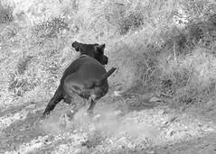 Lola (ndrg) Tags: d5100 nikon nikkor montaña mountain sote sotdechera sot de chera ndrg ndrg2 perro dog lola sepia old bn bw blancoynegro blackandwhite blackwhite oscar jimenez oscarjimenez óscarjiménez