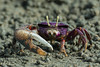 Male purple Fiddler Crab from West Africa filtering sand (Dave Montreuil) Tags: africa wild west male beach nature animal mouth sand hand purple arm natural wildlife balls crab feeder uca flats filter claw gambia environment marsh senegal mangroves crustacean setting bigger wrestle fiddler larger filtering ocypodidae detritivore