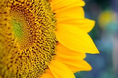 Microflowers (Giuseppe Oricchio) Tags: flowers microflowers macro 40mm nikon sunflower yellow coloseups closerandcloser micro flower giuseppeoricchio