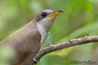 Clock Not Included (Yellow-Billed Cuckoo)