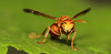 Come near,  if you dare !!! (Ezhil Ramalingam) Tags: home garden leaf wasp sting paperwasp abigfave