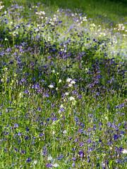 Columbine amongst Bluebells, Glendurgan Garden (Mike Prince) Tags: england cornwall meadows columbine bluebell aquilegiavulgaris plantsandflowers grannysbonnet hyacinthoidesnonscripta glendurgangarden natureandenvironment