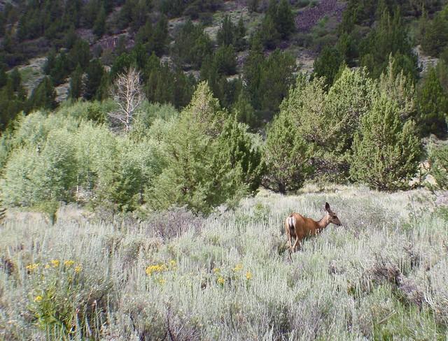 Deer in the Steens