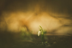 Waiting On You (Stefan (ON/OFF)) Tags: flower snowdrop bokeh bokehlicious dof dephtoffield depthoffield pov viewpoint blur spring frühling color colour sonya7m2 sonya7 samyang1352 samyang2135 135mm f2