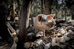 mas feliz que chancho en basural (niNobono) Tags: chancho pig basura trash algarrobo chile altodelcarmen atacamadesert atacama conay pork vallenar botella bottle