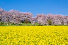 _DSC4451 (sayo-tsu) Tags: sakura cherryblossom saitama gongendopark sattecity 桜 菜の花 お花見 権現堂 埼玉県