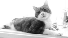 BOSCO (merseymouse) Tags: monochrome blackandwhite cats felines pets animals