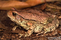 Schismaderma carens - Red Toad. (Tyrone Ping) Tags: wwwtyronepingcom wwwtyronepingcoza tyroneping south africa zululand southafricanreptiles frogs amphibians amphibian sclerophrys toad canon canon7d closeup macro frog frogeyes wild wildlife wildherps