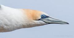 Australasian Gannet (chrissteeles) Tags: australasiangannet gannet portland victoria seabird pelagicbird bird birding
