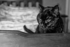 2017_71 (Chilanga Cement) Tags: fuji fujix100t fujix100f x100t xseries x100f bw blackandwhite cat feline whiskers bed daylight lightroom grumpy tail