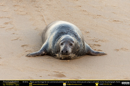 Seal At Horsey Gap