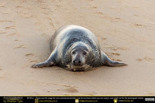 Seal At Horsey Gap
