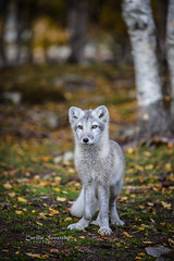 Young fox (CecilieSonstebyPhotography) Tags: alopexlagopus arcticfoxpuppy canon canon5dmarkiii ef70200mmf4lisusm fjellrev langedrag markiii norway polarfox september whitefox arctic autumn bokeh endangered eyes fox foxpuppy portrait puppy snowfox specanimal
