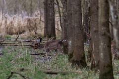 4D3A7799 (marcwalter1501) Tags: damadama daim forêts animaux selestat illwald 5dmk4 canon cervidé