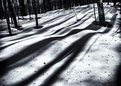 forest shade on snow (rick miller foto) Tags: snow shadows afternoon sun snowshoe snowshoing oro oromedonte orillia york region ontario forest trees mono black white bw