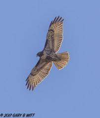 Red-tailed Hawk (orencobirder) Tags: birds flickrexport flight hawks largebirds