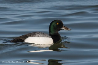 Greater Scaup (Drake) ©
