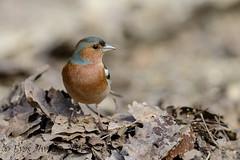 tDSC_0204 (Eyas Awad) Tags: eyasawad nikond800 nikonafs300mmf4 bird birds birdwatching wildlife nature fringuello fringillacoelebs