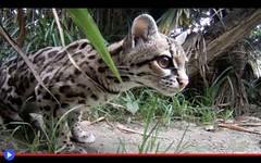 Il gatto-scoiattolo che vive tra le scimmie del Brasile (mondoanimale) Tags: animali felini gatti sudamerica