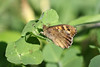 Pararge aegeria (Carla@) Tags: parargeaegeria farfalle lepidottero speckledwood insetti wildlife nature liguria italia europa mfcc canon explorenaturethewildnature thesunshinegroup naturallywonderful alittlebeauty coth sunrays5 specanimal coth5