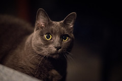 Late Nights with Starr (Bailey the cool one) Tags: starr cats russian blue meow