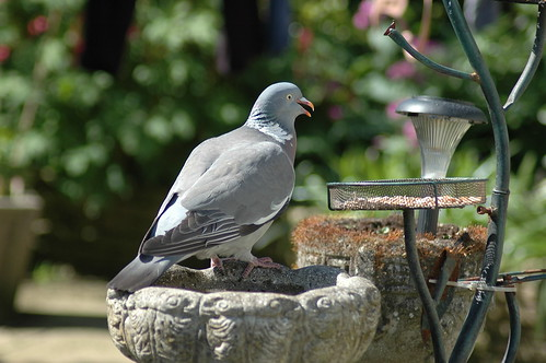 Wood Pigeon back for a feed.