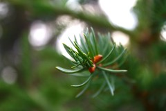 Spruce Needles (Rachel Dawson Photography) Tags: macro tree green bokeh needles coniferous sprucetree spruceneedles canoneos7d