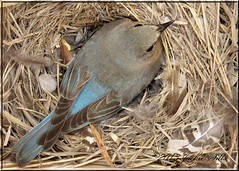 Bluebird Female on nest (JackieS2010) Tags: lowcontrast longshot infocus highquality twofaces