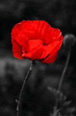 Poppy   ( Explored ) (Jez22) Tags: red wild copyright plant flower color art nature floral beautiful beauty flora natural background petal poppy bloom wildflower isolated papaver rhoeas jeremysage