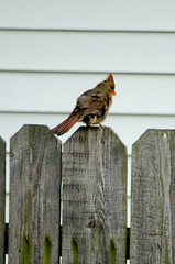 On the neighbor's fence (Pahz) Tags: bird nature animal cardinal wildlife feathers finch avian
