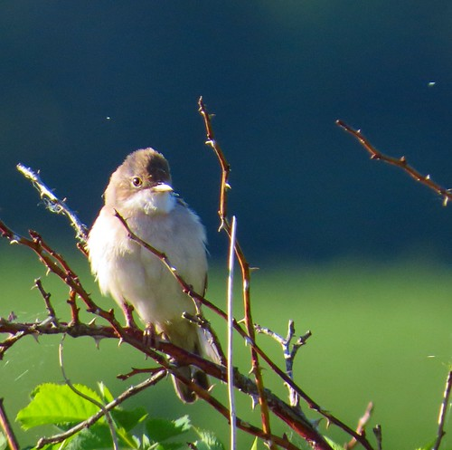Törnsångare / Common Whitethroat