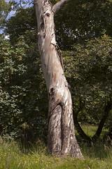 Gum tree | Sheffield Park - 1 (Paul Dykes) Tags: uk england sussex eucalyptus gumtree eastsussex 18thcentury capabilitybrown sheffieldpark sheffieldparkgarden landscapegarden deborahkerr eighteenthcentury theinnocents