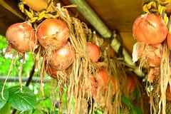 Onion / () (Dakiny) Tags: plant field japan landscape country july vegetable onion yokohama       2013 rurallandscape  seminatural   aobaku   2013  shimoyamotocho  yamotoseseragifureaipromenade