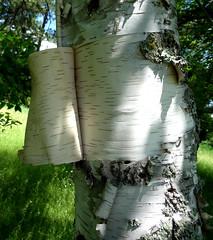 Birch, with bark peeling (Martin LaBar) Tags: tree wisconsin bark trunk birch birchbark betula betulapapyrifera betulaceae paperbirch lenticels sawyercounty