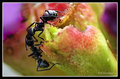 The Kiss (VERODAR) Tags: nature fight nikon rainforest insects ants nikond5000 verodar veronicasridar