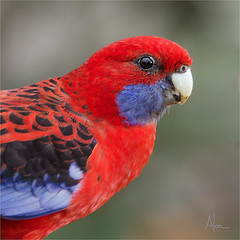 Crimson Rosella CU (caralan393) Tags: red crimson birds cu rosella