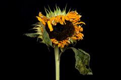 DSC_0283-001 (Helen Mulvey) Tags: flower sunflower dying