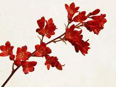 Campanitas de coral * Heuchera sanguinea (jacilluch) Tags: red flower macro fleur coral rojo flor blossoms jardin heuchera flordecoral heucherasanguinea coralito campanasdecoral