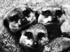 (Nils van Rooijen) Tags: nature amsterdam animals zoo meerkat
