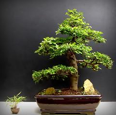 Ulmus Aido Bonsai (Aido Bonsai - Paulo Netto) Tags: bonsai penjing aido
