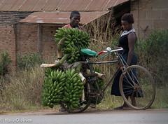 Vi-Forest, Masaka, Uganda,   Matoke (Hans Olofsson) Tags: africa couple bananas afrika uganda masaka greenbananas bananer bicycel cycel viskogen matokebananas viforest basföda stapelfood